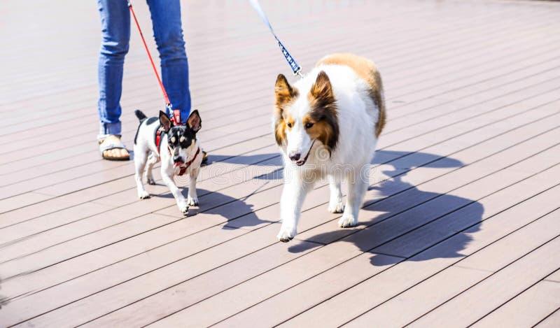 Junge Frau, die Bücher in einer Hand beim Gehen mit einem Hund hält Freundschaft zwischen Menschen und Hund Haustier- und Tierkon stockbilder