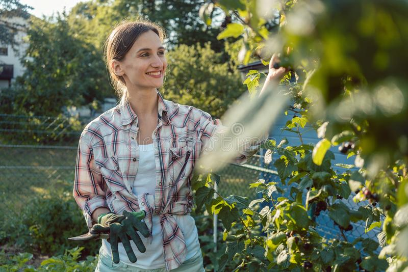 Junge Frau, die Beeren vom Busch zupfend im Garten arbeitet stockfoto