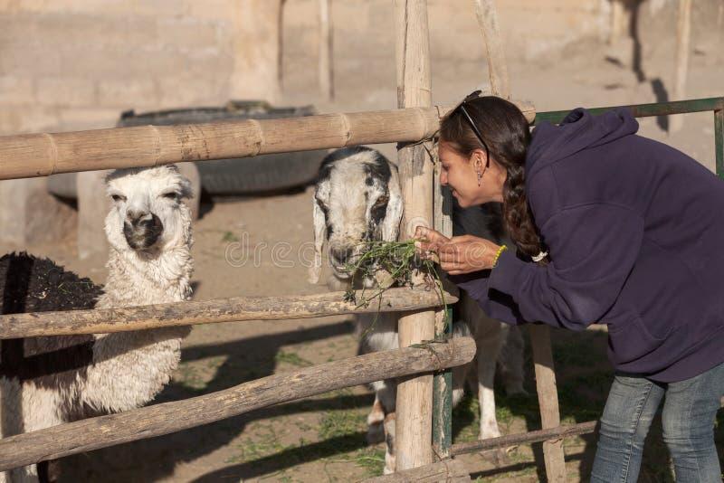 Junge Frau, die eine Ziege und ein Lama im Safari-Park einzieht lizenzfreies stockbild