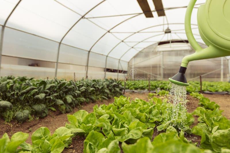 Junge Frau, die grünen Salat im Gewächshaus im Frühjahr wässert stockfoto