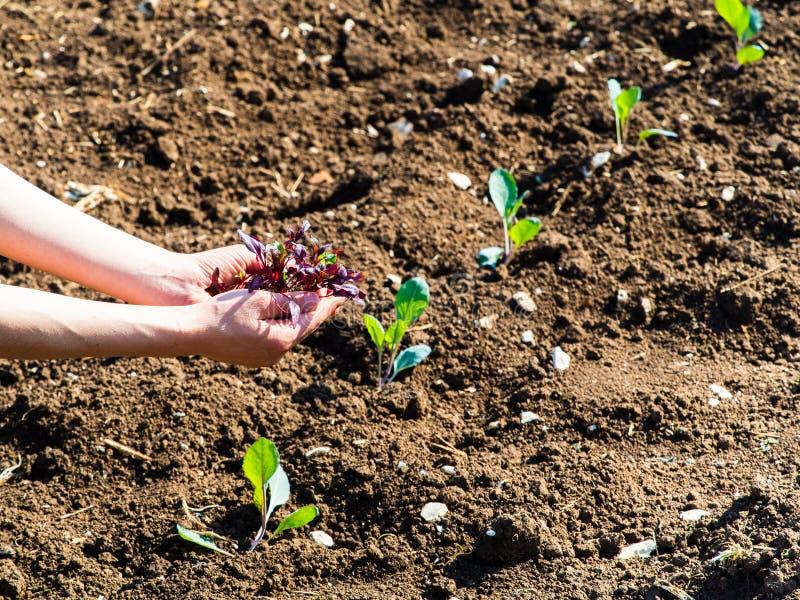 Junge Frau hat ein Pflänzchen in ihren Händen, im Hintergrund der Gemüsegarten stockbilder
