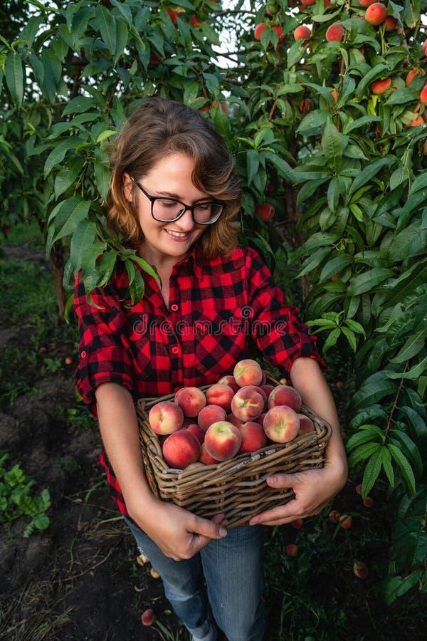 Junge Frau heben Pfirsiche im Garten von Pfirsichbäumen auf stockbilder