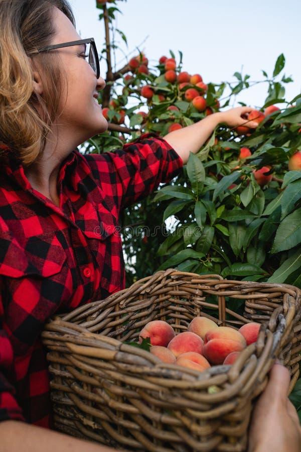 Junge Frau heben Pfirsiche im Garten von Pfirsichbäumen auf lizenzfreies stockfoto