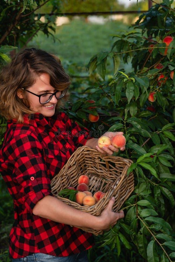 Junge Frau heben Pfirsiche im Garten von Pfirsichbäumen auf stockbild