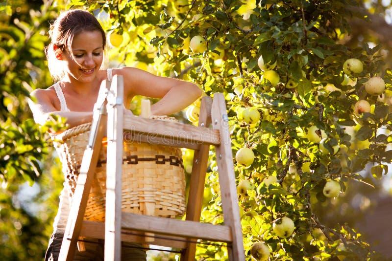 Junge Frau oben auf Äpfeln eines Leitersammelns von einem Apfelbaum stockbilder
