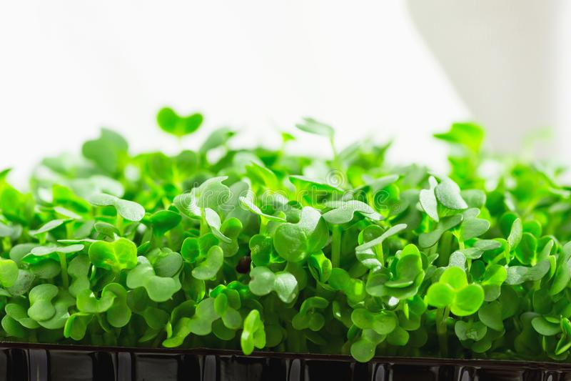 Junge frische Sprösslinge des eingemachten Wassers Cress Growing Indoors auf Küchen-Fensterbrett Weiches Tageslicht-weiße Vorhang lizenzfreie stockfotos