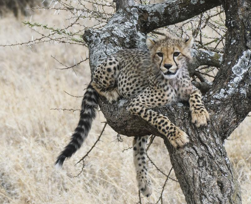 Junge Gepardjungsreste beim Lernen, Bäume zu klettern stockfotografie