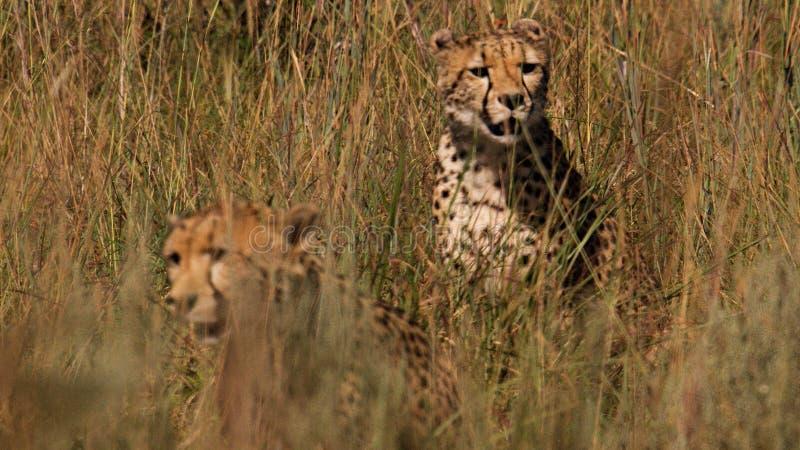 Junge Gepardpaare stockfotografie
