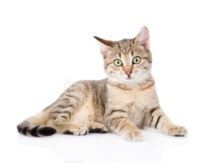 Junge gestreifte Katze, die Kamera betrachtet Getrennt auf weißem Hintergrund stockbilder