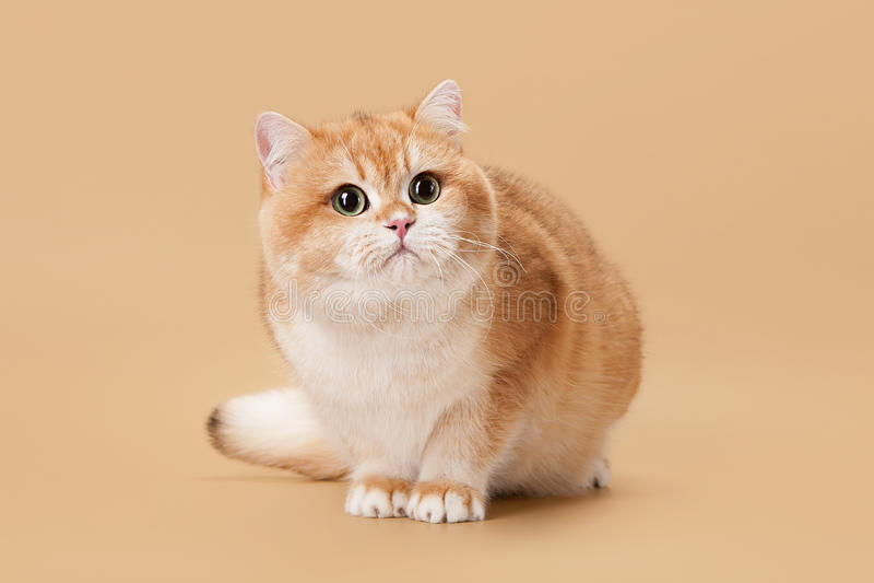 Junge goldene britische Katze stockfotos