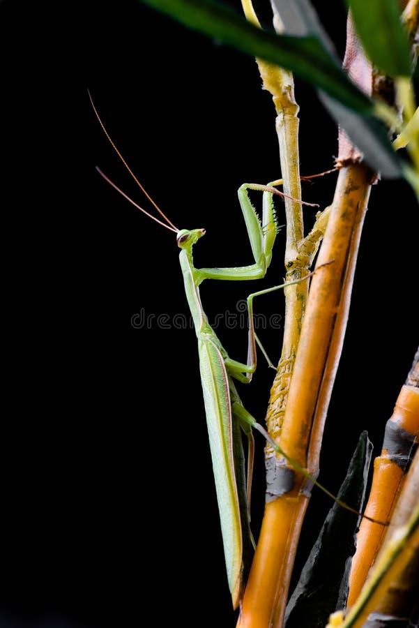 Junge Gottesanbeterin, die auf einem Grasstiel sitzt stockfotos