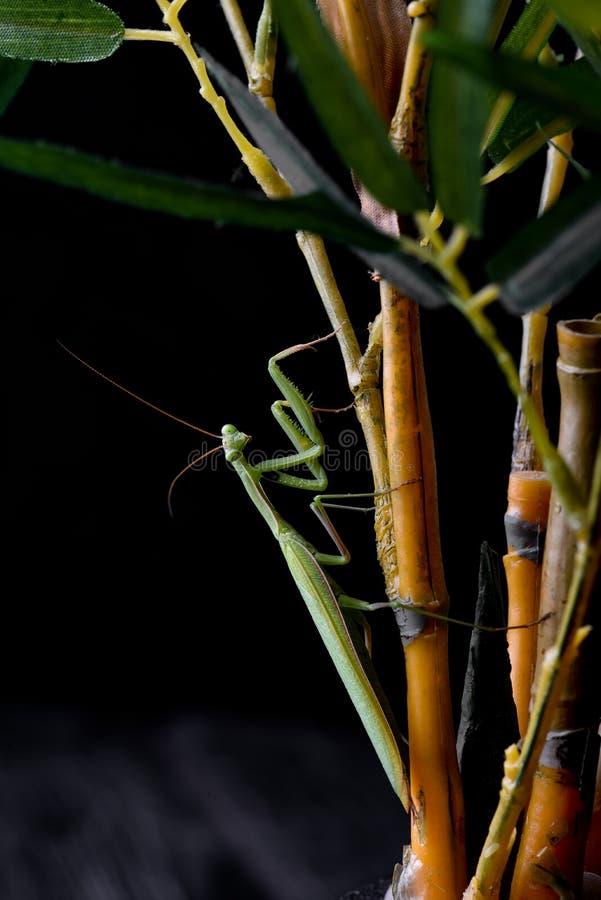 Junge Gottesanbeterin, die auf einem Grasstiel sitzt lizenzfreies stockbild