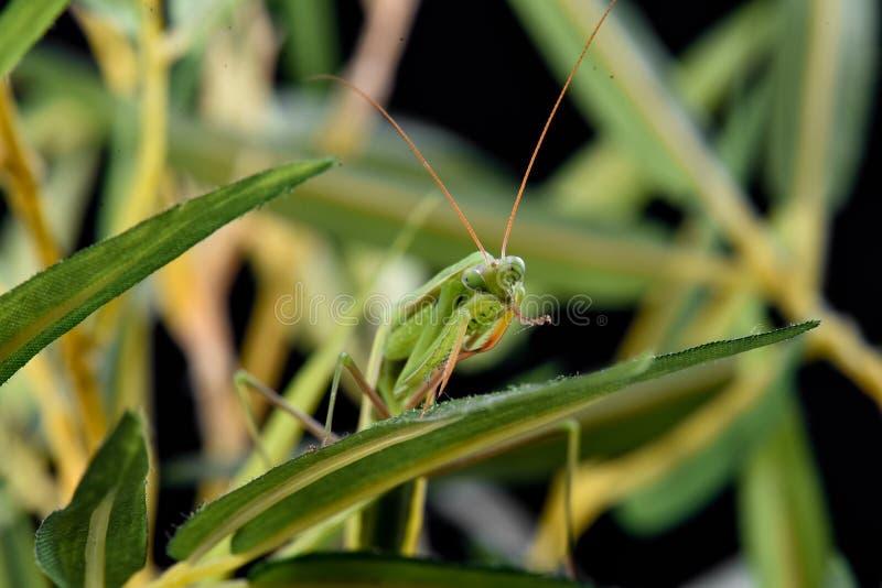 Junge Gottesanbeterin, die auf einem Grasstiel sitzt stockbilder