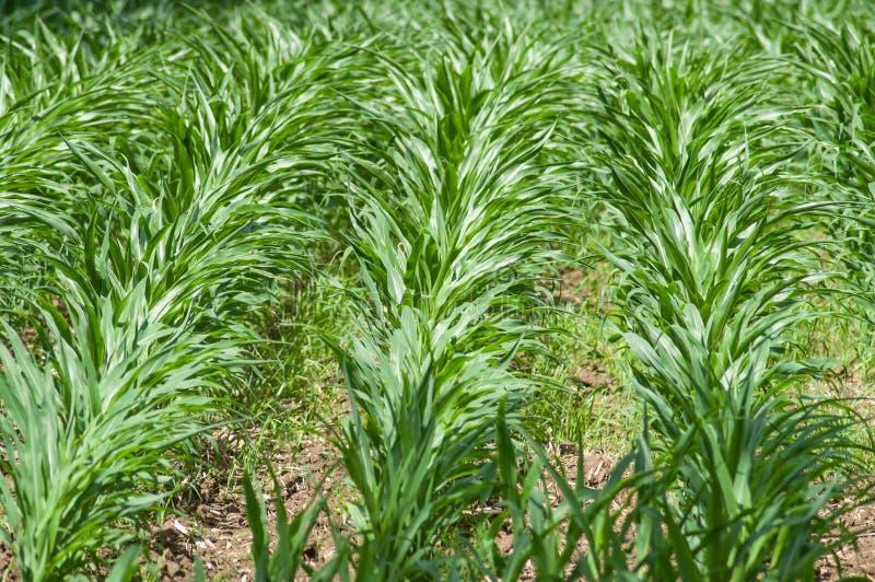 junge grüne Ausrichtung von Maisgetreide auf einem Gebiet lizenzfreie stockbilder