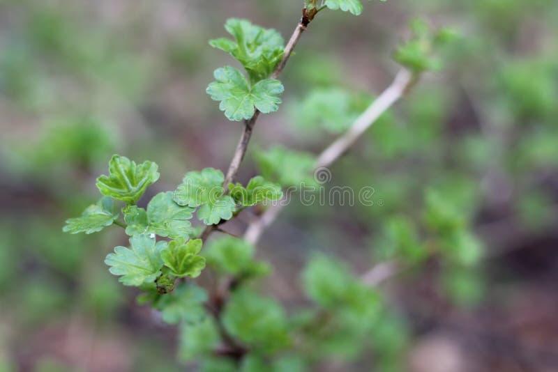 Junge grüne Blätter auf den Niederlassungen von Sträuchen im Frühjahr, Nahaufnahme, mit einem unscharfen Hintergrund stockfotos