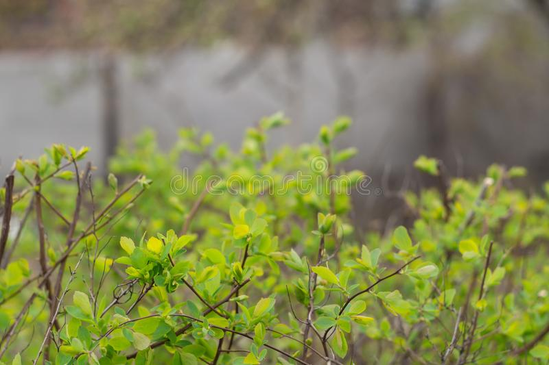 Junge grüne Blätter auf einem spirea Busch I stockfotos