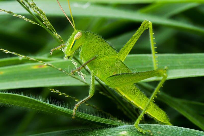 Junge grüne Heuschrecke, die Gras isst stockfotografie