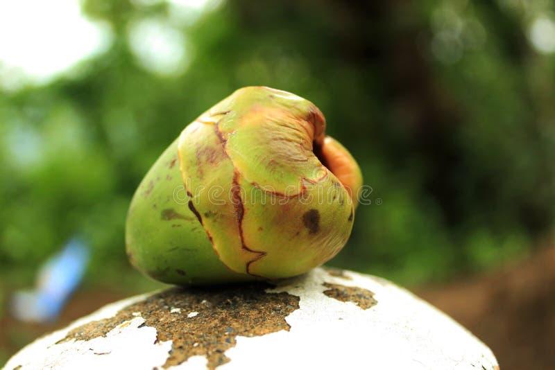 Junge grüne philippinische Kokosnuss stockbild
