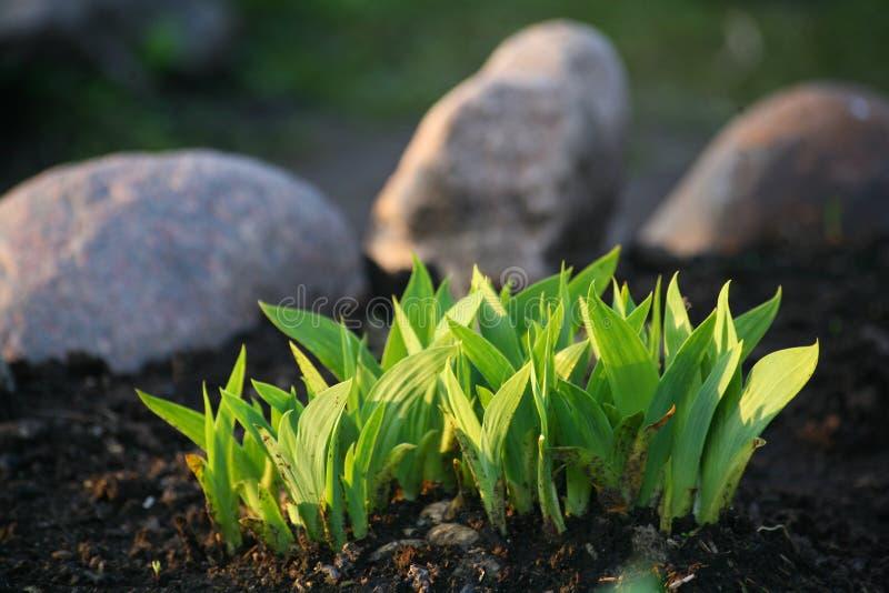 Junge grüne Trieb Familien-Bushs von Gartenzierpflanzen auf gepflogenem Frühlingsblumenbeet lizenzfreie stockfotografie