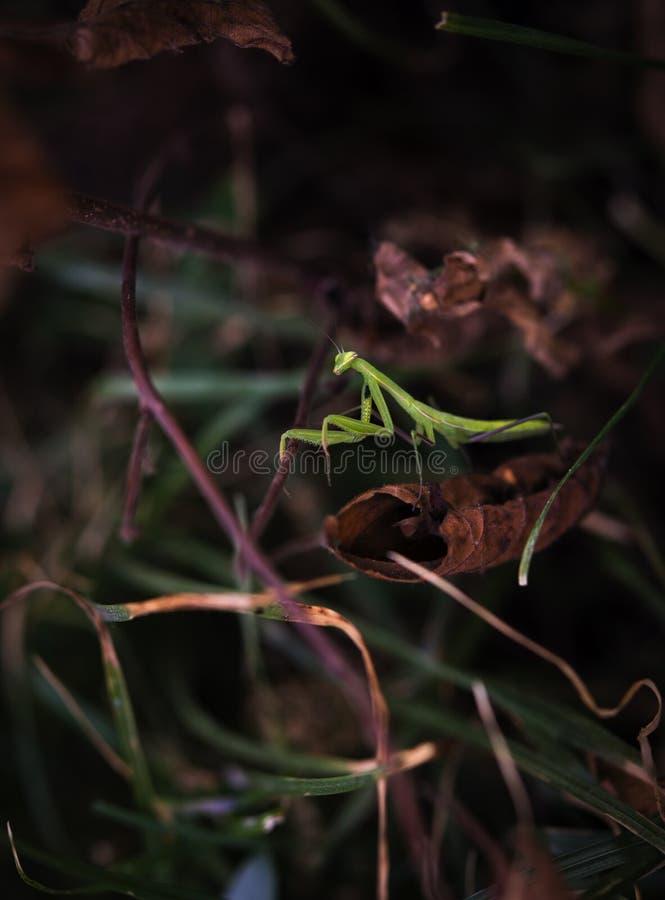 Junge grüne zahlende Gottesanbeterinnahaufnahme auf dem braunen Hintergrund stockfotografie