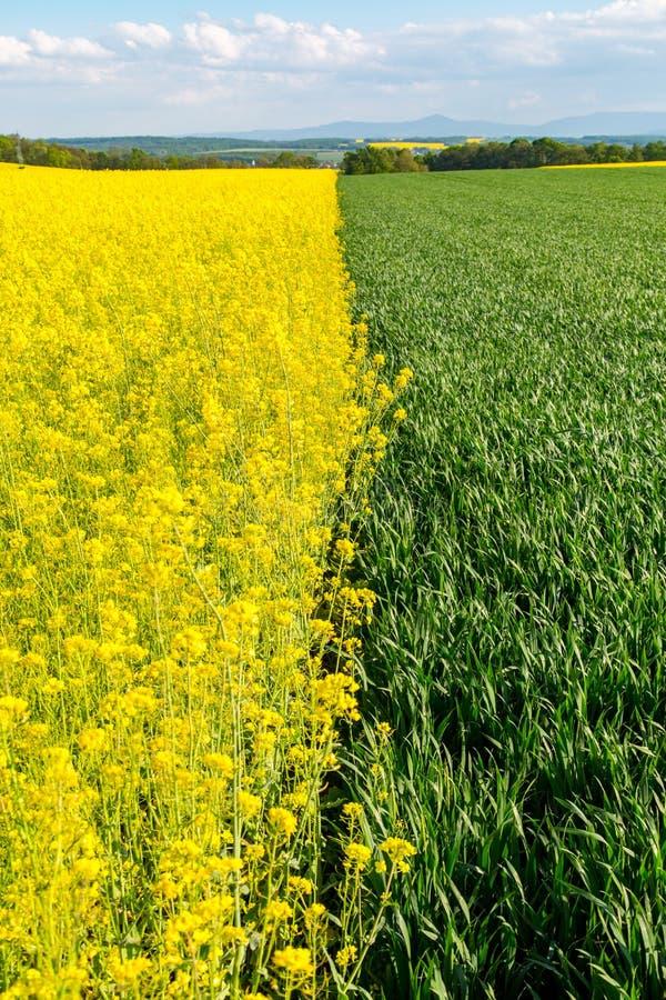 Junge große Ansicht des Weizen- und Rapsfeldes lizenzfreies stockfoto