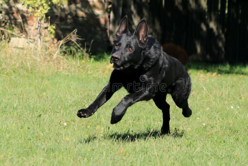 Junge große leidenschaftliche Galoppaußenseite des schwarzer Hundschäferhunds über Gartenpark, Wiese zu seinem Meister mit Liebe lizenzfreie stockbilder
