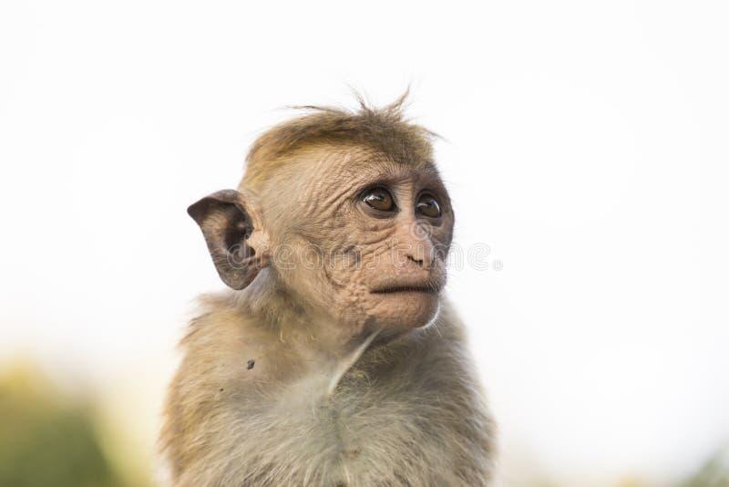 Junge, hässlicher schauender Makaken-Affe, Kandy, Sri Lanka stockfotos