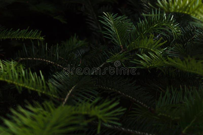 Junge hellgrüne Niederlassungen einer immergrünen Weihnachtsbaumnahaufnahme beleuchtet durch die Strahlen der Sonne stockfoto