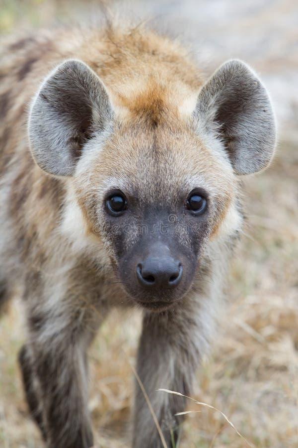 Download Junge Hyäne stockfoto. Bild von eingebürgert, field, jung - 26374416