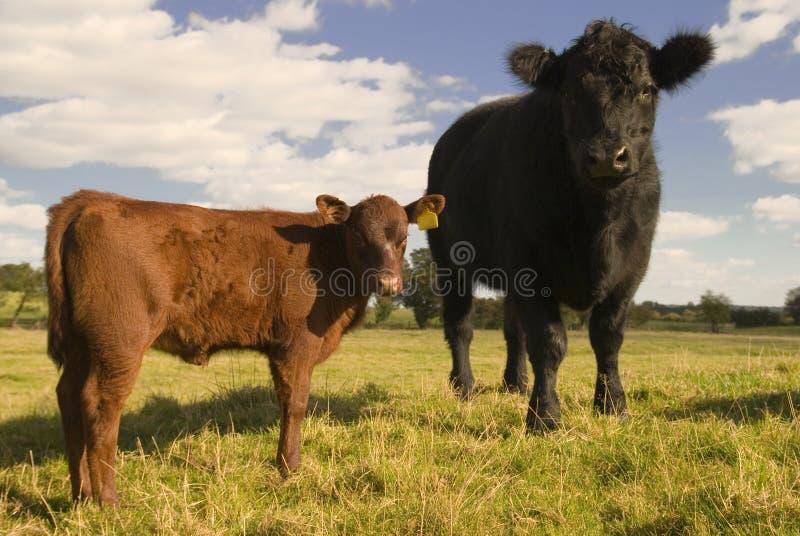 Junge Kühe stockbild