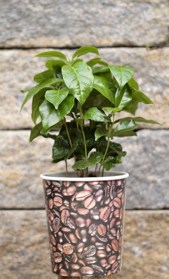 Junge Kaffeeanlage im Topf vor einer Steinwand lizenzfreies stockfoto