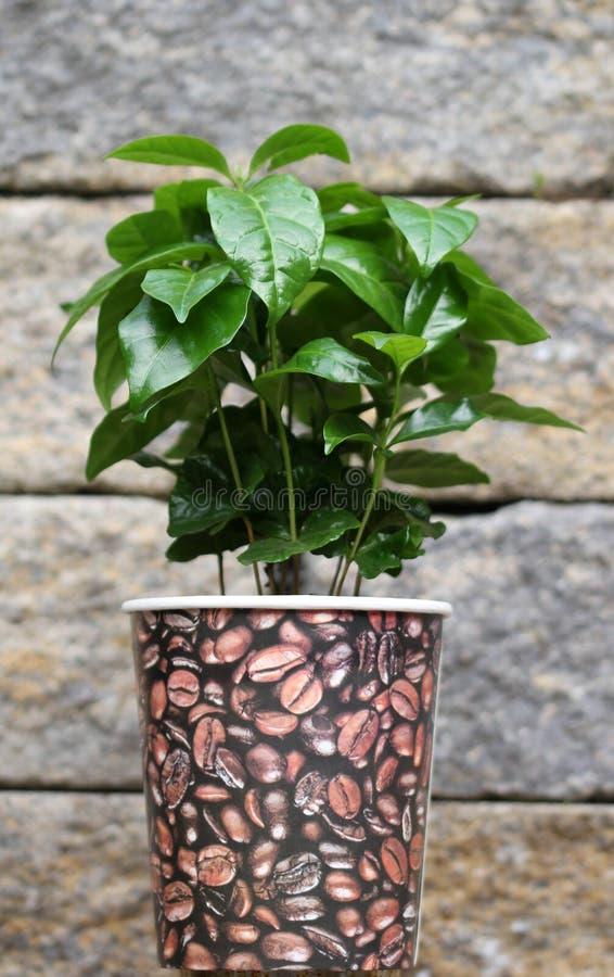 Junge Kaffeeanlage im Topf vor einer Steinwand lizenzfreies stockbild