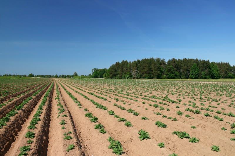 Junge Kartoffelpflanzen stockfoto