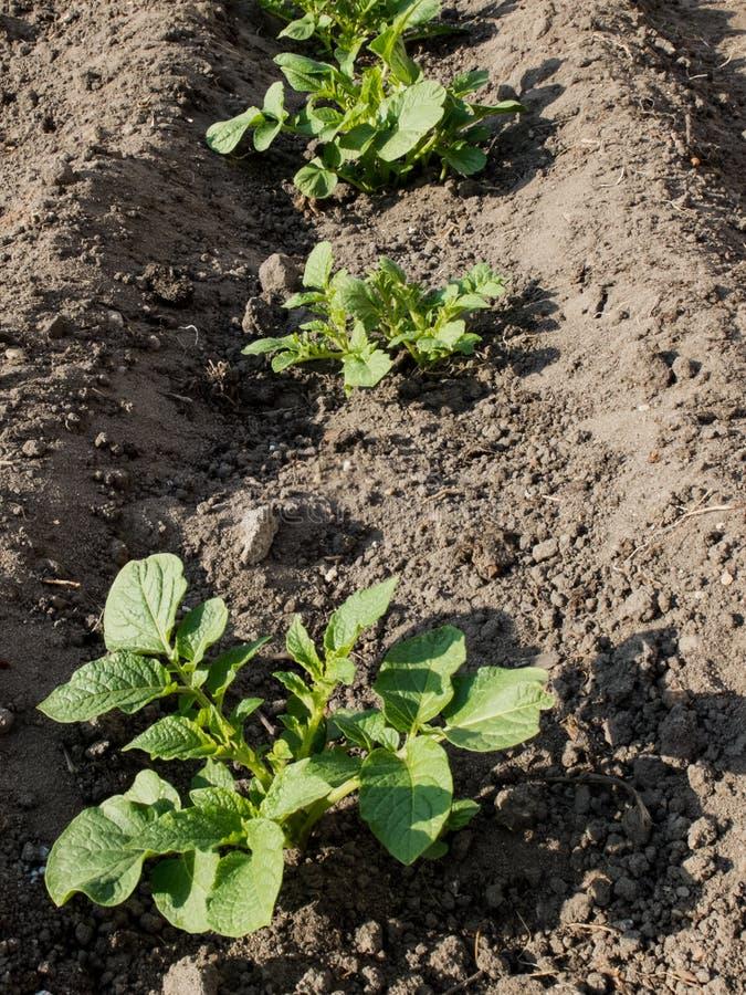 Junge Kartoffelpflanzen im Frühjahr stockfoto