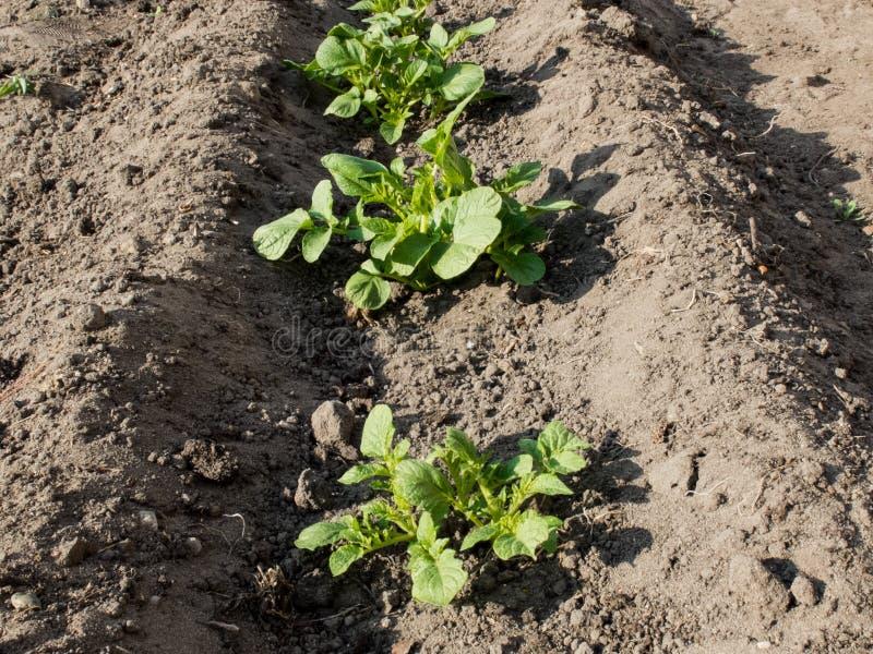 Junge Kartoffelpflanzen im Graben lizenzfreie stockfotos