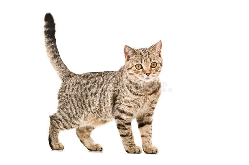Junge Katze schottisches gerades stockfotos