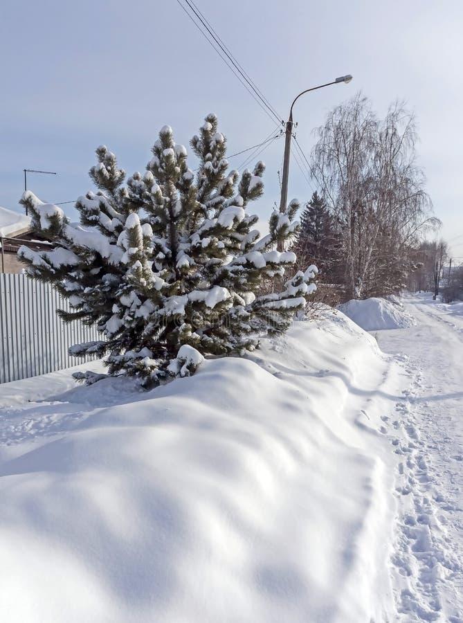 Junge Kiefer im Schnee bedeckt mit Schnee lizenzfreie stockbilder