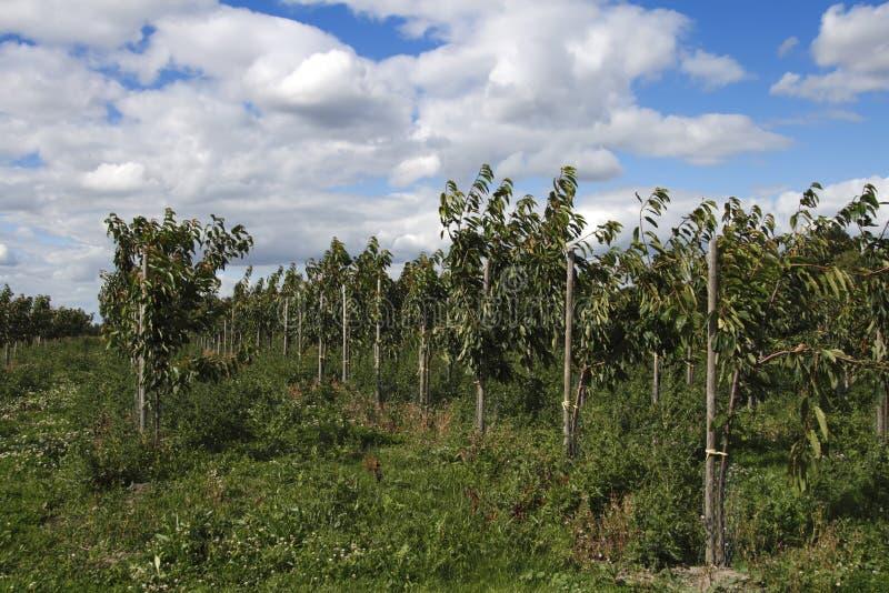 Junge Kirschbäume im Bauernhofobstgarten stockbild