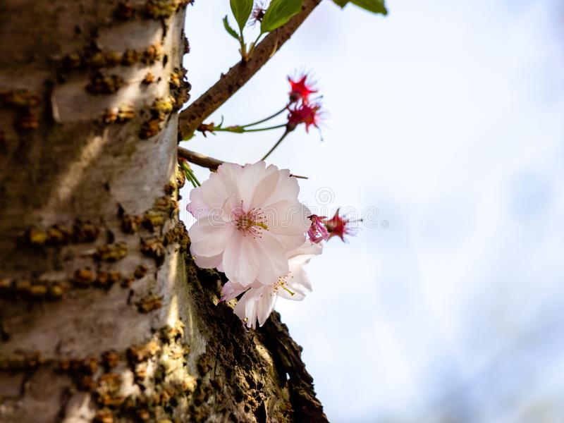 Young cherry sprout growing from tree trunk showing some blossoms. Selective focus and blurry background royalty free stock photography