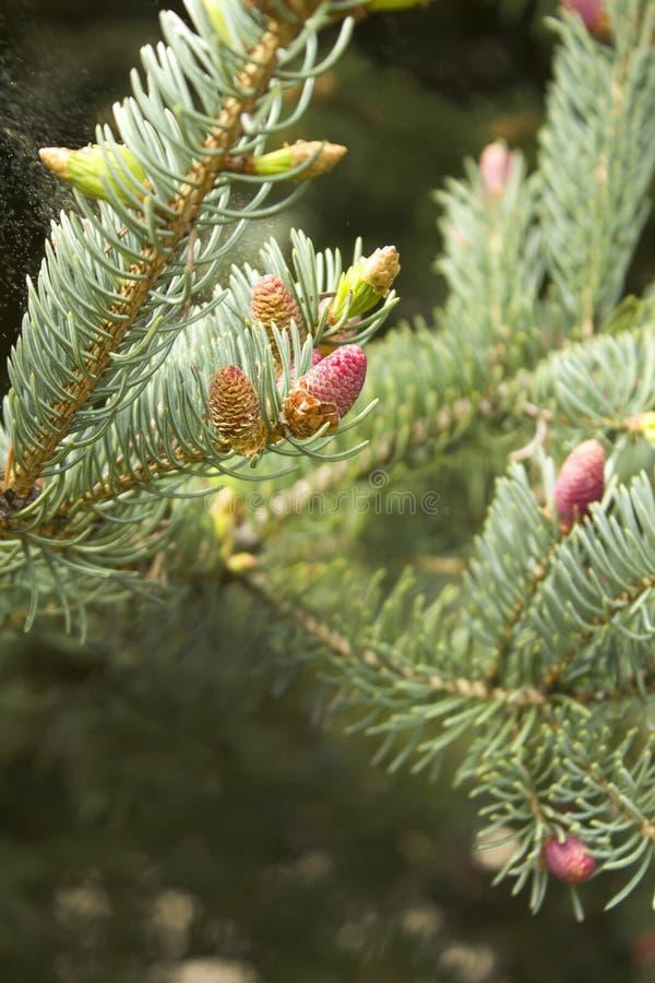Junge Knospen und junge Kegel wachsen aus einem Zweig des Koniferenbaums heraus lizenzfreie stockbilder