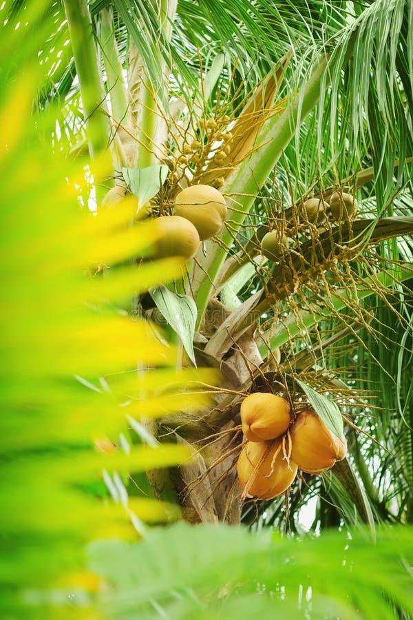 Junge Kokosnuss auf einer Palme stockfoto