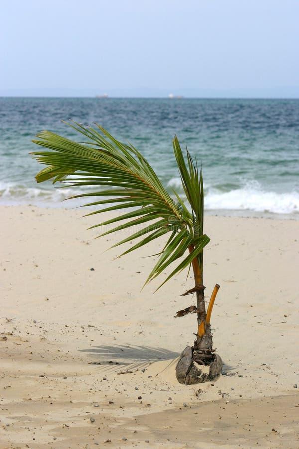 Junge Kokosnuss-Palme stockbilder