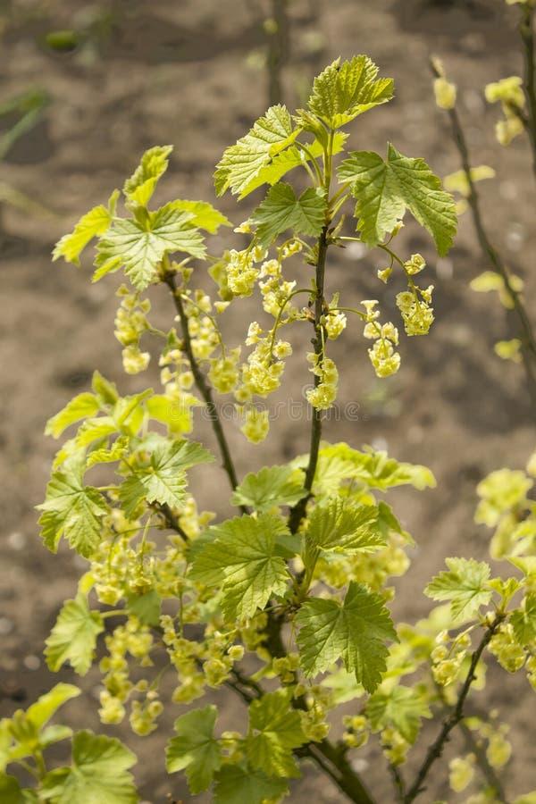 Junge Korinthenblätter und Korinthenblumen blühen im Frühjahr Garten lizenzfreie stockfotos