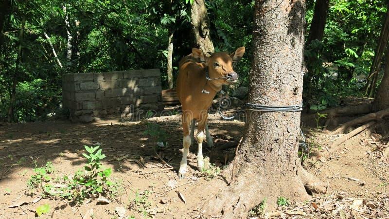 Junge Kuh gebunden mit Seil am Baum im Dschungel Kuh von lokalen Viehzüchtern auf Bali-Insel in Indonesien lizenzfreies stockfoto