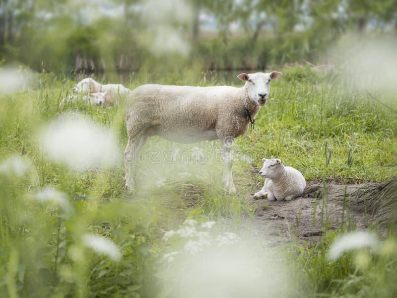 Junge Lämmer und Schafe auf dem grünen grasartigen Gebiet mit Frühlingsblumen zwischen Amsterdam und Utrecht in Holland lizenzfreie stockfotos