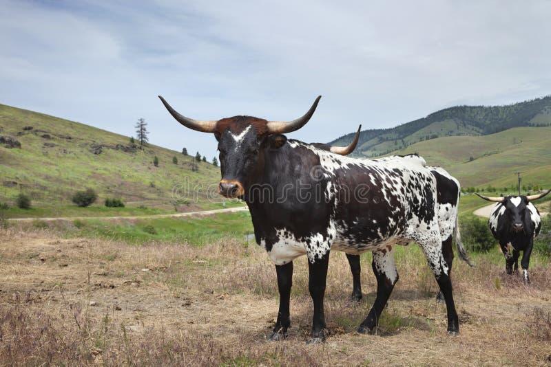 Junge Langornkuh mit anderen auf einem Feld in Montana lizenzfreies stockfoto