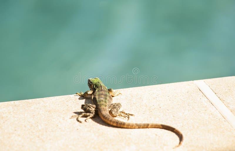 Junge Leguan-Reste durch Pool stockbilder