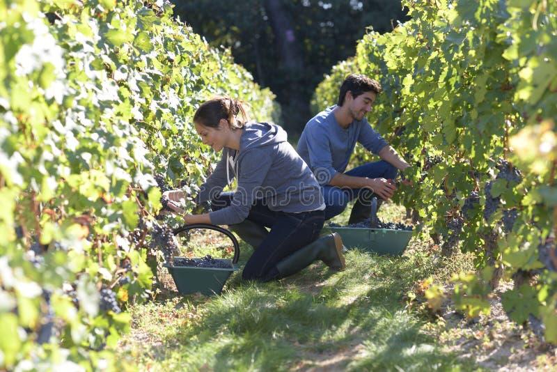 Junge Leute in den Weinbergen, die schwer arbeiten stockfotos