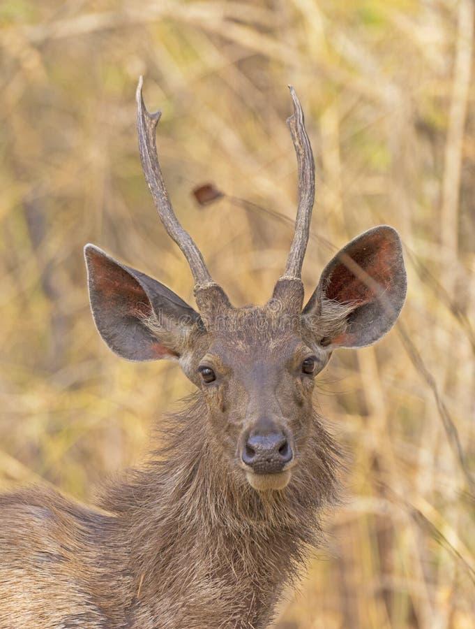 Junge männliche Sambar-Rotwild im Wald stockfotografie