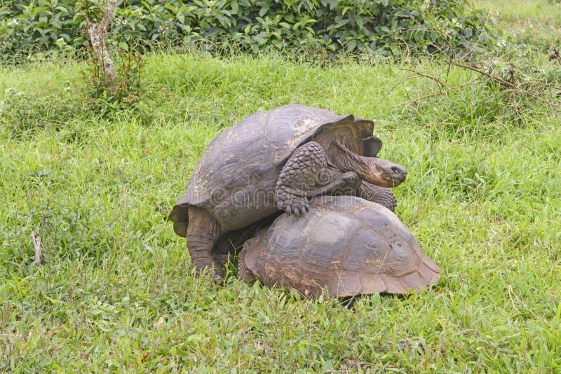 Junge männliche Schildkröte, die das falsche Ende einer Frau anbringt lizenzfreie stockbilder